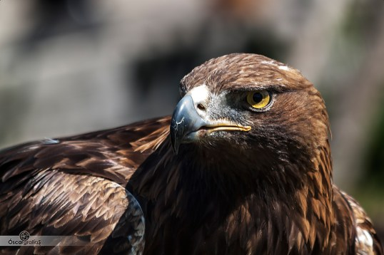 Aguila-real-2