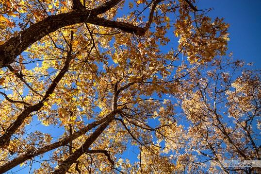 Quercus pyrenaica (Rebollo)