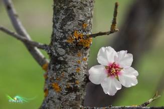 Prunus sp (Cerezo)