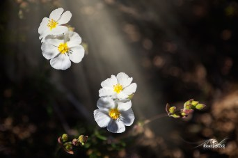 Helianthemum violaceum (Perdiguera blanca)