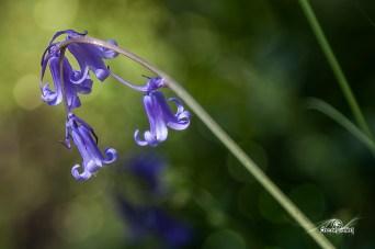 Hyacinthoides non-scripta (Jacinto de los Bosques)