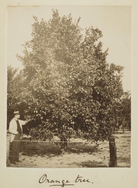 Cadman family established successful citrus business in Narcoossee