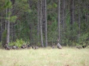 osceola-florida-turkey-hunting-003