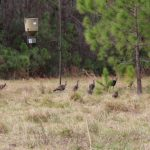 Turkey Hunt - Osceola Turkey Hunts