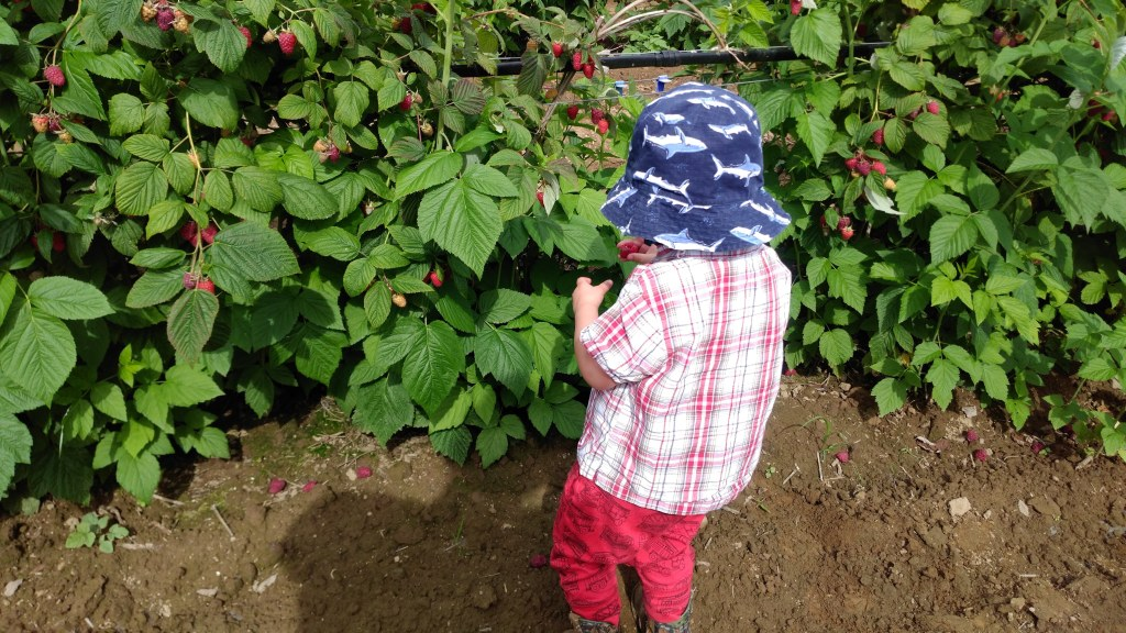 Raspberry ;picking
