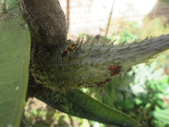 Milkweed bugs - nymphs and one adult
