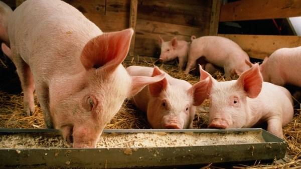 Ливенская порода свиней с сережками на шее