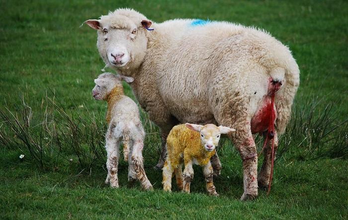Lampaat synnyttivät niitty
