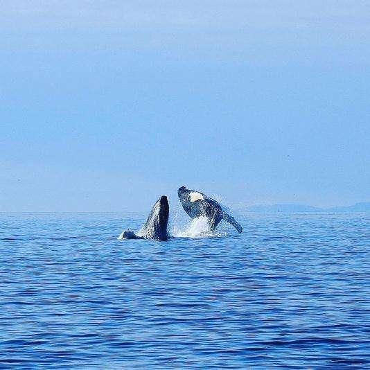 Baleines près de Tadoussac