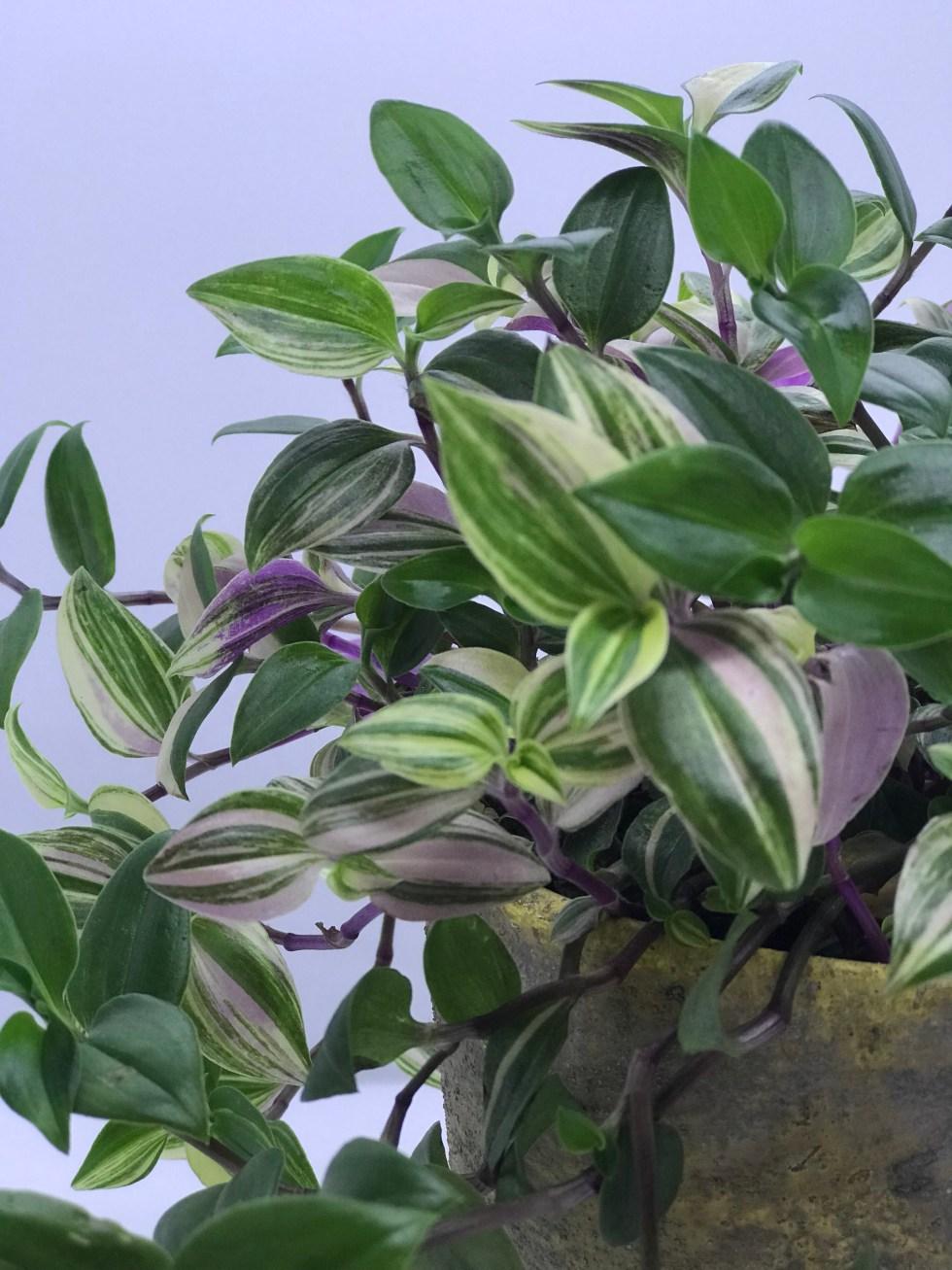 Tradescantia fluminensis quadricolor