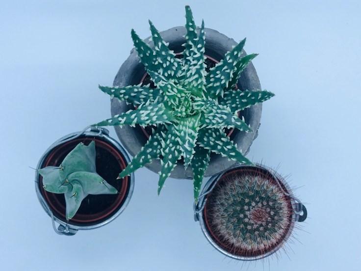 Aloe humilis & cactus