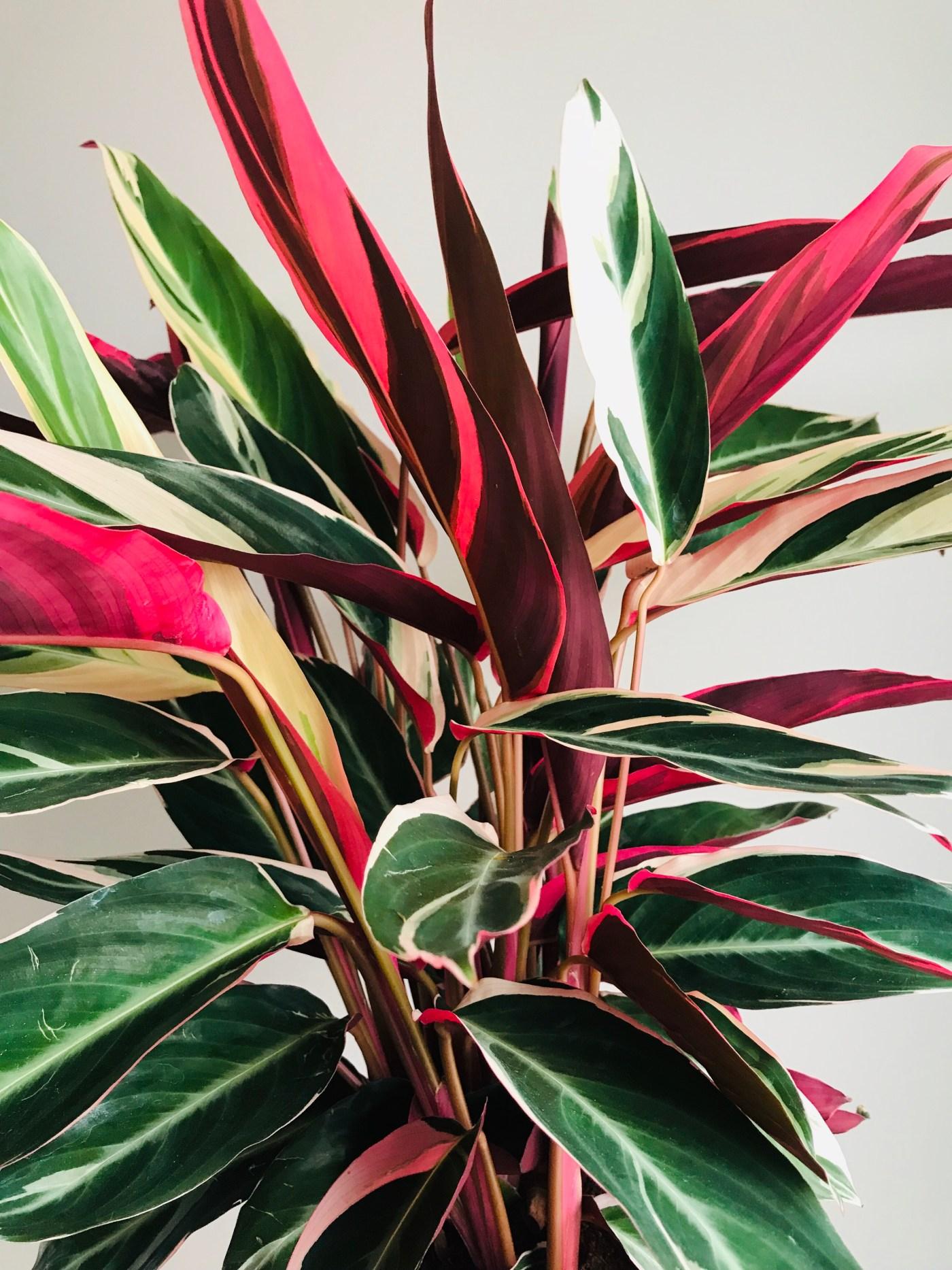 Plante D Intérieur Qui Aime La Chaleur le calathéa triostar, la plante tropicale d'intérieur