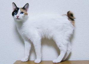 """O Bobtail Japonês é bastante amigável. Aqui um com a típica """"cauda de coelho"""" foto: Wikipedia Japan"""