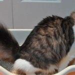 Síndrome urológica felina