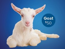 Photo of Good Gifts goat