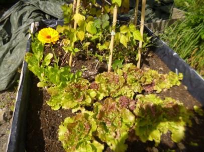 Lettuce, Beans and Calendula