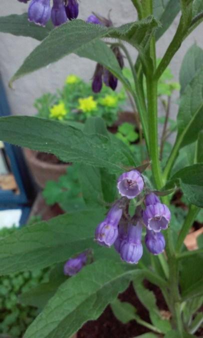 Flowering Comfrey