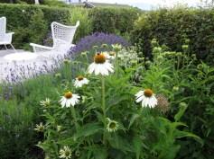"'White Swan' / Salvia nemerosa 'Schneehugel' / Lavandula angustifolia 'Munstead' og ""Hidcote Blue"""