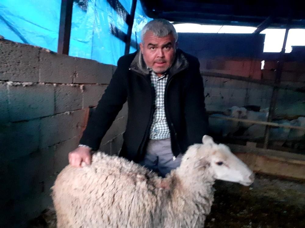 Osmaniye'de sokak köpekleri koyunları telef etti