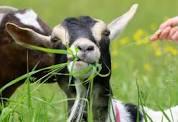 goat-image-1