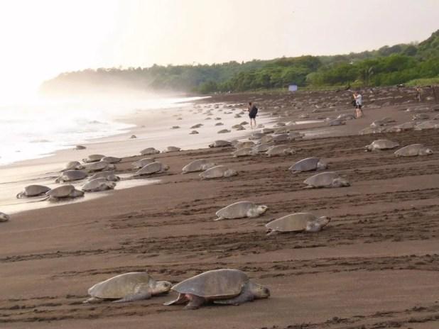 "as ""Arribadas"" de tartarugas na praia de Ostional na península de Guanacaste (Costa Rica)"