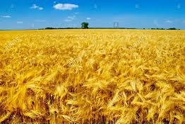 BarleyHarvest
