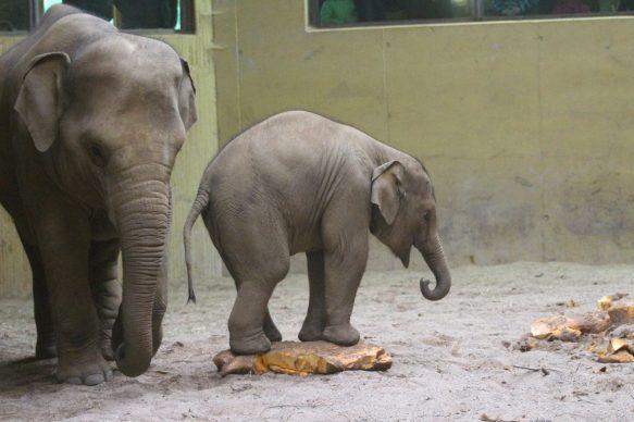 Elefantenjungtier Minh-Tan traut sich endlich an den unbekannten Kürbis heran.Foto: Zoo Osnabrück (Lisa Josef)