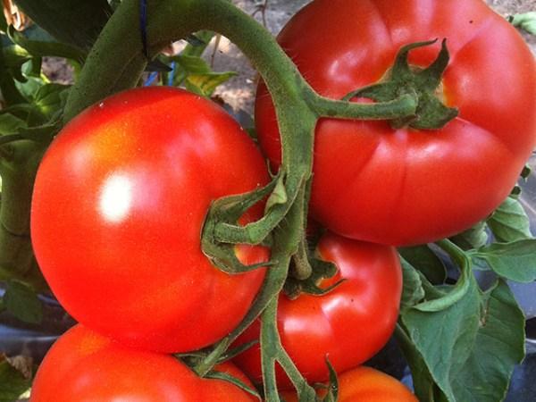 Томат Буран: характеристики и описание сорта, урожайность ...