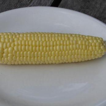 'Top Hat' Sweet Corn. Photo: Jonathan Spero / Lupine Knoll Farm