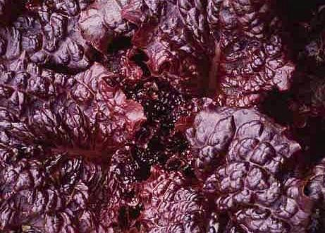 hyper red rumple waved Lettuce