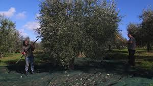DOLCE AGOGIA – Federica De Santis, agronoma residente a Monte Tezio, ci parla dell'olivicoltura nel nostro territorio