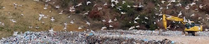 Volo di gabbiani sulla discarica