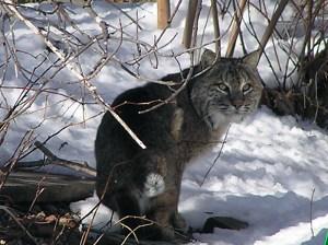 KirwinBobcat