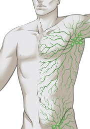 lymphatic system drawing v2 by adbravo - Cropped