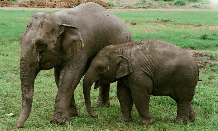 Nat Geo estrena el documental «Love&Bananas» que muestra la cruda realidad de elefantes en Asia