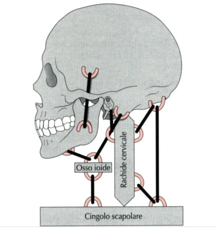 simonetta-alibrandi-osteopata-roma-posturologo-personal-trainer-dolore-alla-spalla-tendinite-lesione-al-sovraspinato-lesione-cuffia-dei-rotatori-impingment-subacromiale-apparato stomatognatico-mandibola