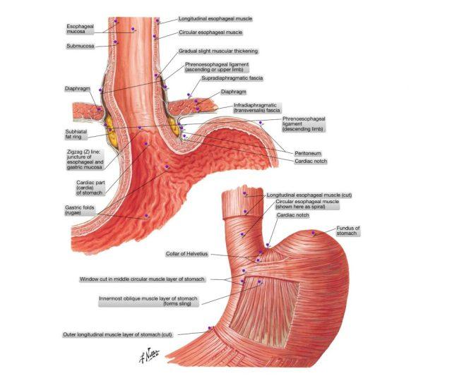 simonetta alibrandi osteopata anatomia dello stomaco reflusso gastroesofageo