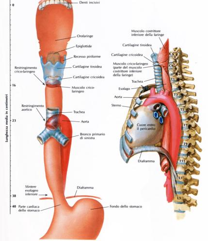 simonetta alibrandi osteopata a roma decorso dell'esofago e anatomia