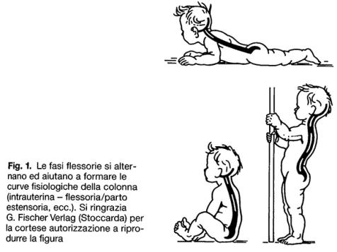 simonetta alibrandi osteopata formazione delle curve fisiologiche della colonna nel bambino