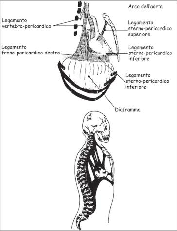 simonetta alibrandi osteopata relazioni fasciali del diaframma con la cervicale ed il pericardio:l'asse aponeurotico centrale o tendine centrale