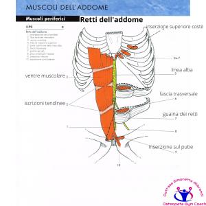 simonetta alibrandi osteopata posturologo roma mal di schiena ernia protrusione postura corretta colonna vertebrale lombosciatalgie I muscoli addominali guaina dei retti esercizi per il core