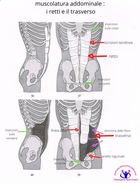 simonetta-alibrandi-osteopata-posturologo-roma-mal-di-schiena-ernia-protrusione-postura-corretta-colonna-vertebrale-lombosciatalgie-muscolatura-addominale-_-i-retti-e-il-trasverso