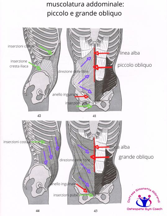 simonetta-alibrandi-osteopata-posturologo-roma-mal-di-schiena-ernia-protrusione-postura-corretta-colonna-vertebrale-lombosciatalgie-muscolatura-addominale_-piccolo-e-grande-obliquo-