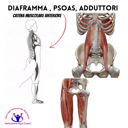simonetta-alibrandi-osteopata-esercizi-diframma-postura-corretta-mezieres-catena-muscolare-anteriore-psoas-adduttori