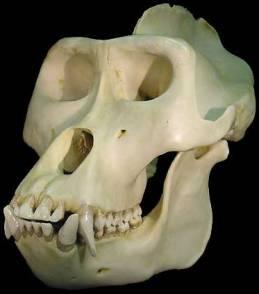 crâne de gorille