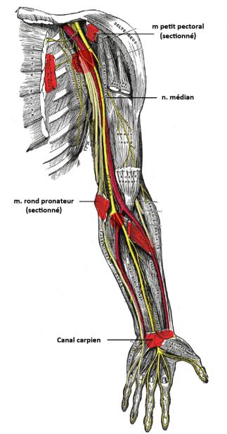ostéopathe compression nerf médian