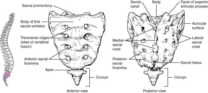sacrum osteopathe lille