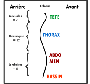 Les noms de la colonne vertébrales