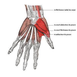 muscles déformations arthrose du pouce