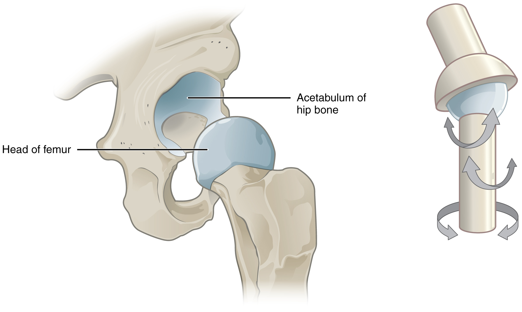 Anatomy Of The Hip Osteopathy Singapore